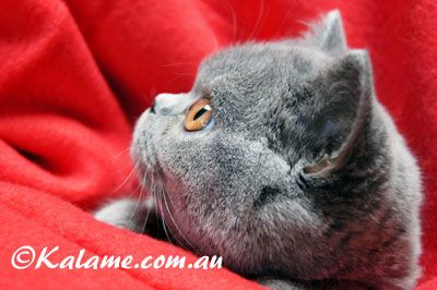 Welcome To Kalame Com Au Bannockburn Breeder Cattery Cats British