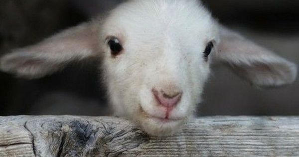 I love baby lambs! and baby goats! they are so sweet.