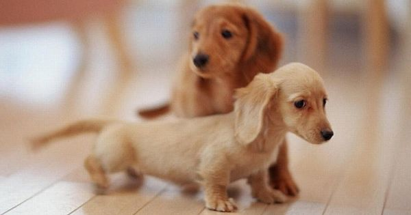Long Haired English Cream And Red Dachshund Puppies 3 3 3