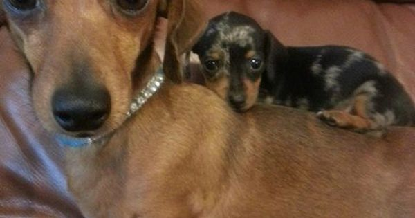 I got your back! Dachshund and baby. - looks like my old