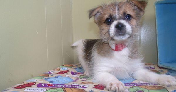 Yoranian Puppy For Sale In Paterson Nj Adn 29858 On Puppyfinder