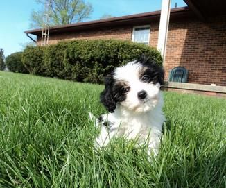 Cavachon Breeders Contact Us For Beautiful Cavachon Puppies Cavachon Puppies Cavachon Puppies