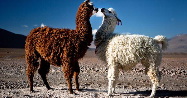 Bolivia Llama Animals Wildlife Reserve