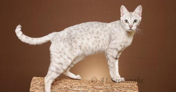 F5 White Savannah Cat Kittens Cutest F5 Savannah Cat Gorgeous Cats