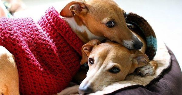Miniature Italian Greyhound love | cute dogs | Pinterest ...