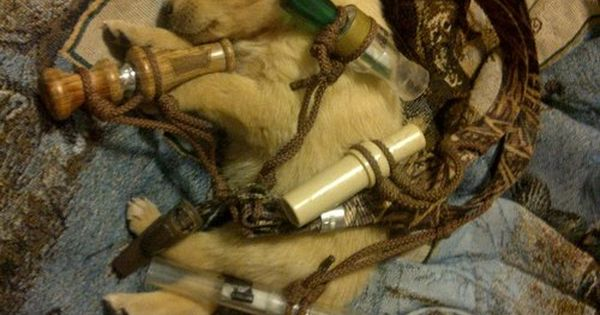 duck hunting dog dreaming of his next retrieve