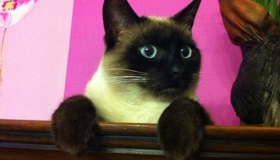 Timon Propose Par Jul Ragdollcats Ragdoll Cats Colorpoint Cat Personalities Cats Meow Beautiful Cats