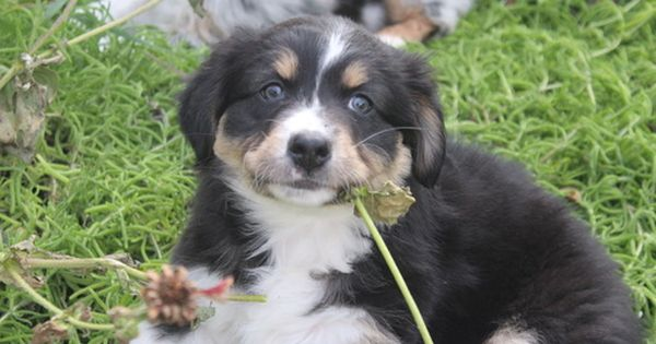 Australian Shepherd Puppy For Sale In Riverside Ca Adn 21306 On Puppyfinder Com Gender Female Australian Shepherd Australian Shepherd Puppy Shepherd Puppies