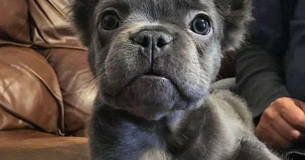 Long Haired Blue French Bulldog Puppy Bulldog Puppies