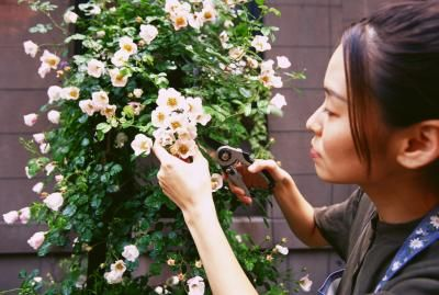 How To Prune Roses Properly In 2020 Trim Rose Bushes Pruning Roses How To Trim Roses
