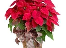 Stella Di Natale Fiore.Stella Di Natale Rosso Natale Centritavola Natalizi E