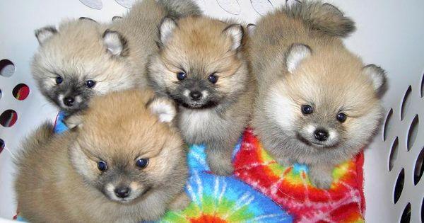Too Cute Puppy Litter Pomeranian Puppy For Sale Pomeranian Puppy