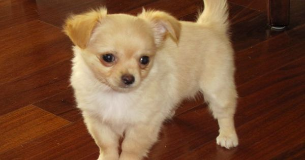 Golden Long Haired Chihuahua Puppy | Teddy, Bear and Furball | 600 x 315 jpeg 22kB
