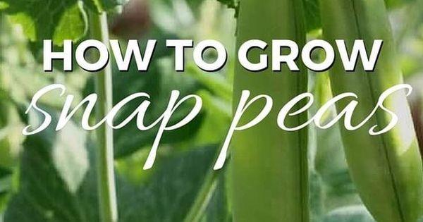 how to grow snap peas