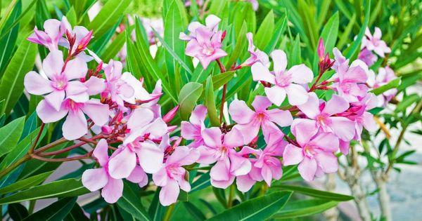 oleander richtig schneiden garden deco gardens and garten. Black Bedroom Furniture Sets. Home Design Ideas