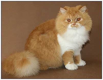 British Longhair Cat Red With White Orange Cats Long Haired