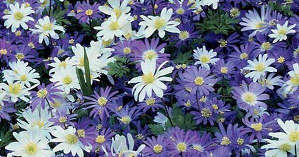 Anemone Blue And White Mixture White Flower Farm Flowers Perennials Bulbous Plants