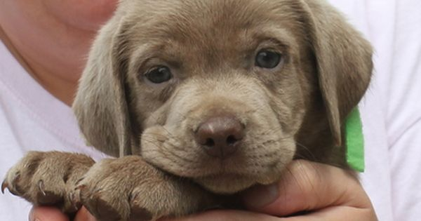 Silver Lab Puppies For Sale Silver Labs Charcoal Lab Puppies