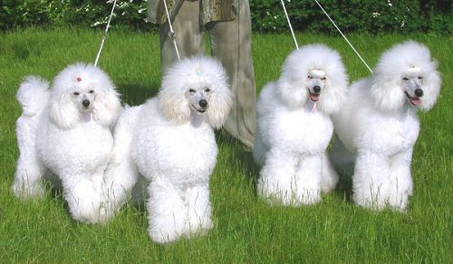 White Miniature Poodles Sisters And Brothers Of The Kennel