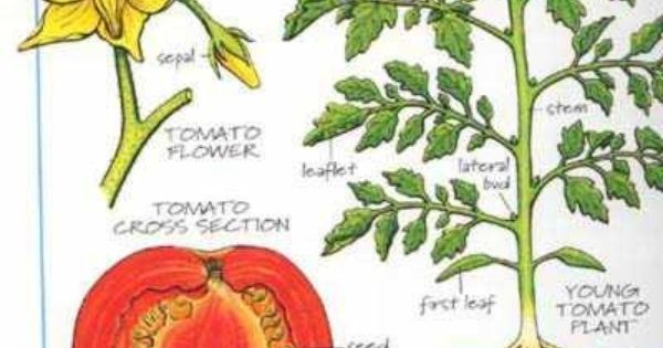 Showing Gallery For Tomato Plant Diagram Garden
