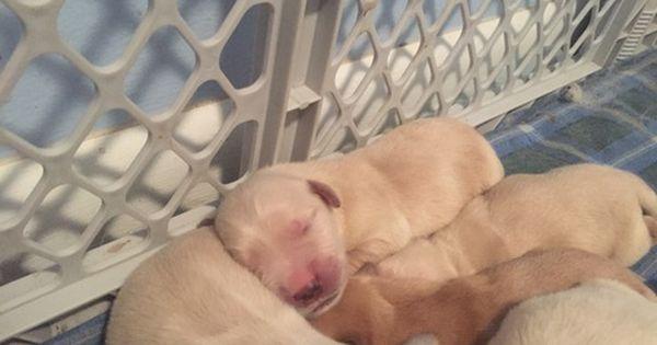 Litter Of 9 Golden Retriever Puppies For Sale In Casper Wy Adn