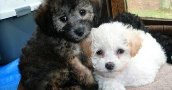 Black And White Toy Poodle Pups They Are Such Beautiful Pets Poodle Puppy Cute Dogs Dog Toys