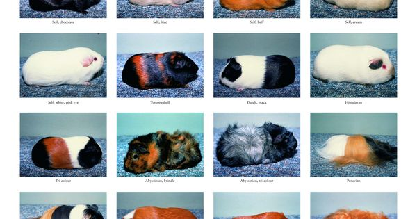 09964_rabbit_and_guinea_pig_breed_poster_tcm7969723page