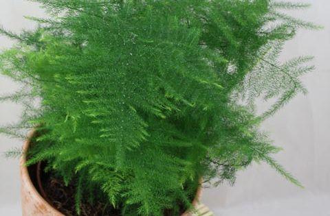Asparagus fern houseplants terrariums pinterest for Non toxic ferns