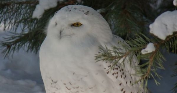 Snowy Owl - one of the most beautiful feather creatures on Earth!