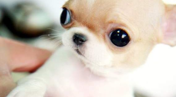 the chihuahua dog breed is one of the smallest dog breeds