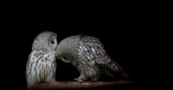 Owl courtship.