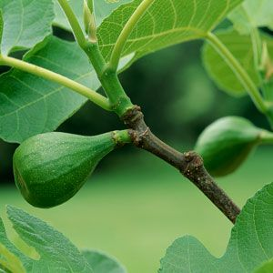 Figs In New England Growing Fig Trees Fig Tree Fig