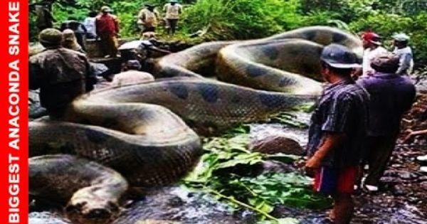 World Biggest Snake Anaconda Found In River Online Videos
