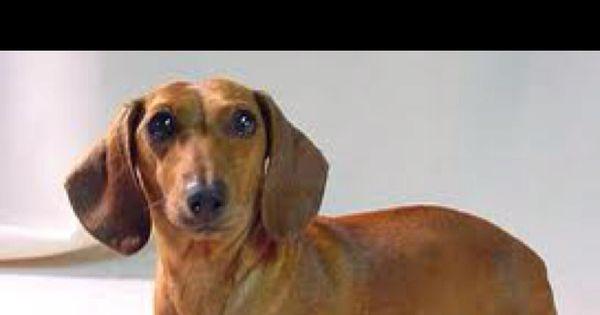 Daisey Dog Dachshund Funny Dachshund Dachshund Puppies