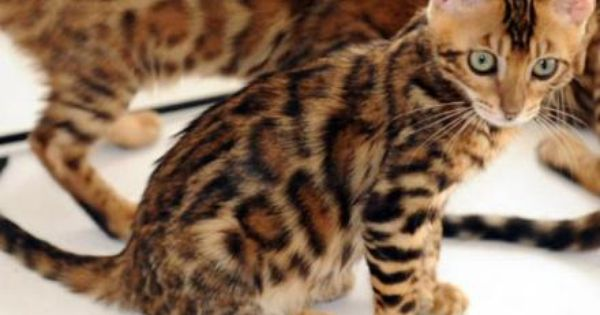 Tiger Kittens For Sale Image Search Results Bengal Kitten Bengal Cat Facts Bengal Cat