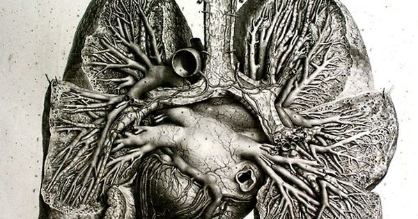 Anatomical drawing : heart and lungs From: 'Anatomie de l'homme' by Bourgery &