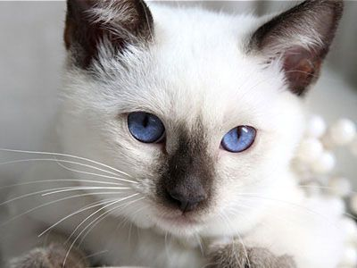 Siamese Cats Are Known To Be Affectionate Friendly Loyal And Bold Origin Thailand Life Span 12 15 Years Hypoallergenic No All Cat Breeds Cats Animals
