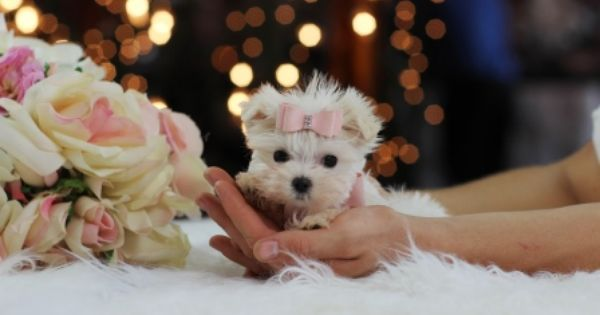 Beautiful Pocketbook Maltese For Sale Call 954 353 7864 Or Visit