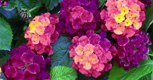 Bandana Cherry Lantana Camara Proven Winners Flowers Plants Lantana Camara