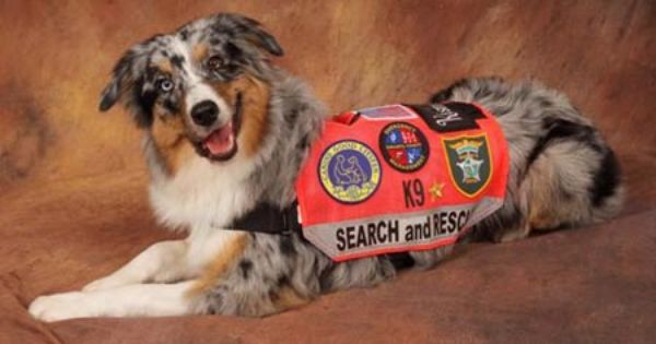 Australian Shepherd Blue Merle Search And Rescue Dog Military
