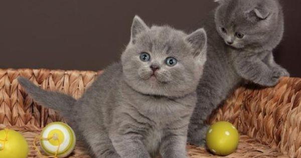 Maybe This Guy British Shorthair Kittens British Shorthair