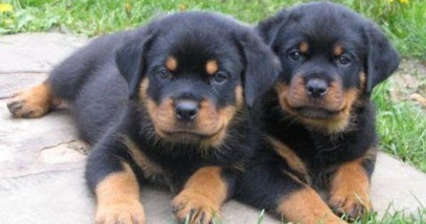 Rottweiler Puppies For Sale In Colorado Springs Colorado Co