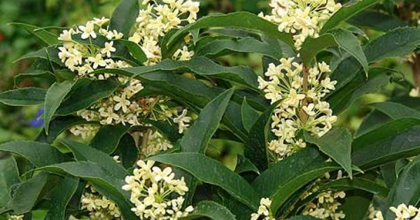 Tea Olive Shrub Easy Gardening Pinterest Shrub