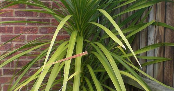 Pruning Yucca Plants - How To Prune A Yucca