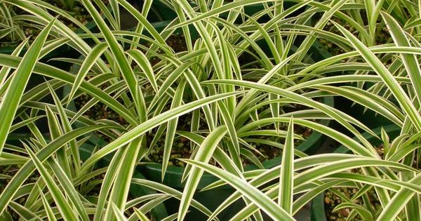 Spider plant chlorophytum comosum part shade to full for Are spider plants poisonous to cats