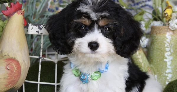 Cavachon And Cavapoo Puppies For Sale Cavachon Cavapoo Puppies For Sale Cavapoo Puppies