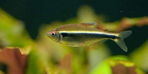 Black Neon Tetra Black Neon Tetra Care Guide Neon Tetra Black Neon Tropical Fish