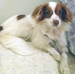 Adopt Mason On Papillon Dog Dogs Dogs Puppies