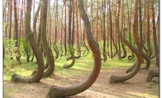 Poland's Mysterious Crooked Forest - In a tiny corner of western Poland