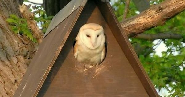 Barn Owl Nest Box For Sale Woodworking Projects Plans Owl Nest Box Owl Nesting Owl House